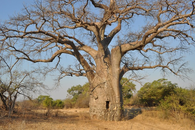 A baobab in Tete Province, Mozambique. Christian Kull, Author provided in the original article posted on www.theconversation.com.